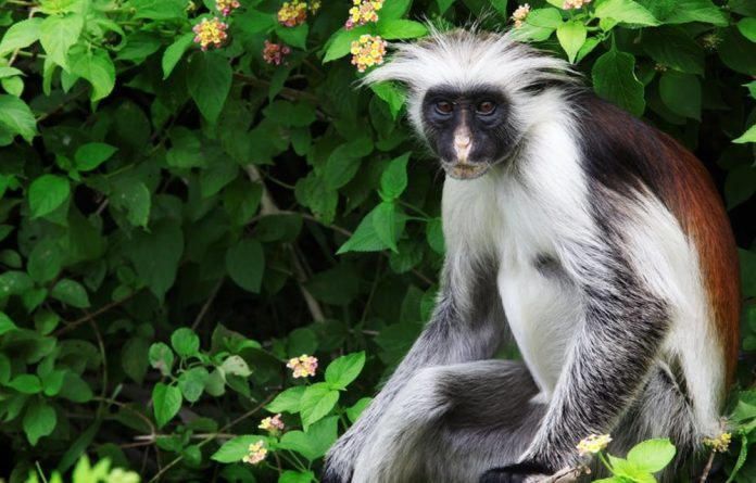 The Zanzibar Red Colobus is endemic to Tanzania.