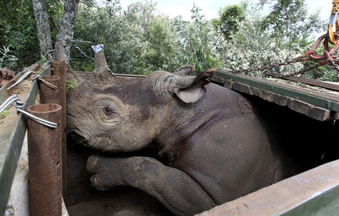 An endangered black female rhinoceros with its horn partially cut-off charges inside its cage after a radio transmitter was implanted in its horn before translocation.
