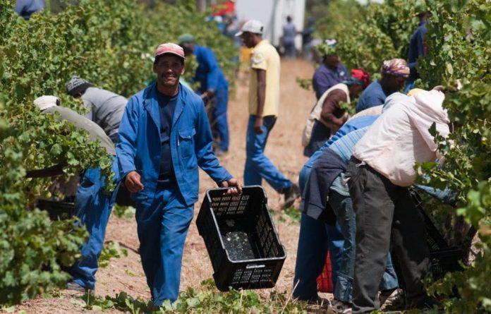 Harvest season on a wine farm in Stellenbosch