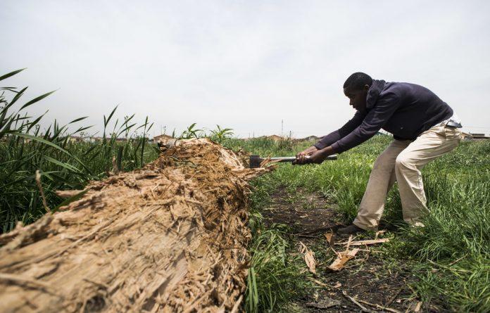 Bongani Khumalo chops wood in the sewage-polluted wetland
