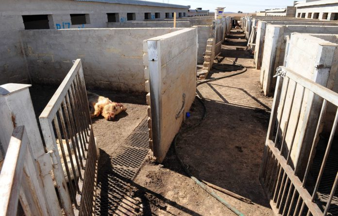 Police and SPCA officials discovered more than 50 dead pigs with the remaining 85 cannibalising on rotting carcasses on Thandi Modise's farm near Potchefstroom.