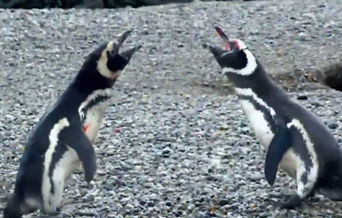 Two of the penguins involved in the violent showdown.