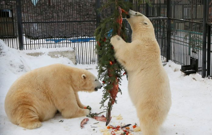 Russian authorities have so far refused permission to shoot the bears but are sending a commission to investigate the situation and have not ruled out a cull.