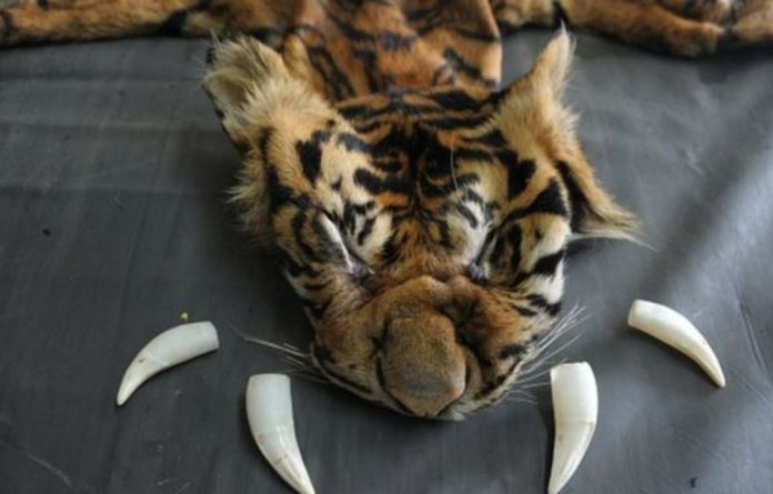 People in places such as China believe that tiger bones have medicinal and spiritual properties.