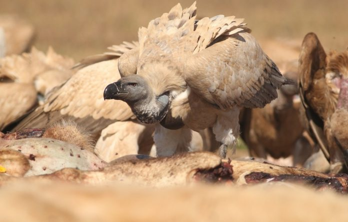 The Cape Vulture is now extinct as a breeding species in most of Southern Africa.