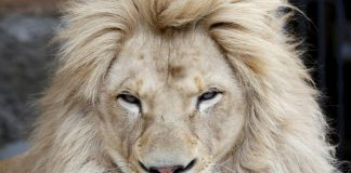 A lion that killed a US tourist at a game park will be isolated