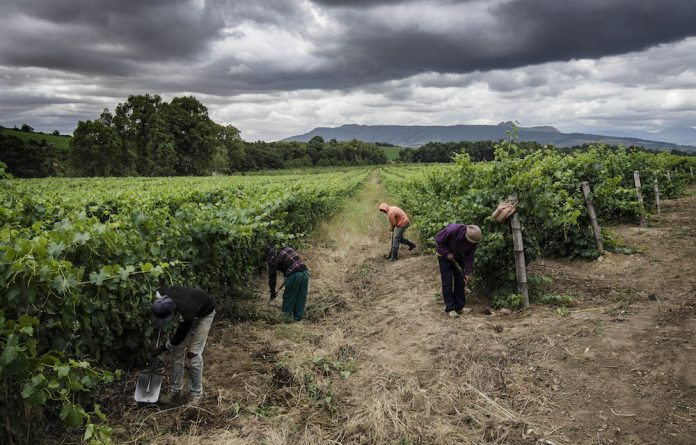 Hard labour: Poorly paid workers in the Cape winelands would benefit from the minimum wage