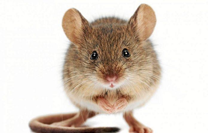 In a study in mice
