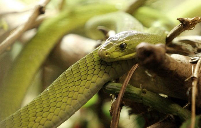 A green mamba possesses venom that is roughly equal in potency to that of the black mamba.