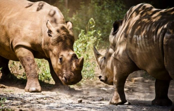 Poached rhino numbers have grown rapidly