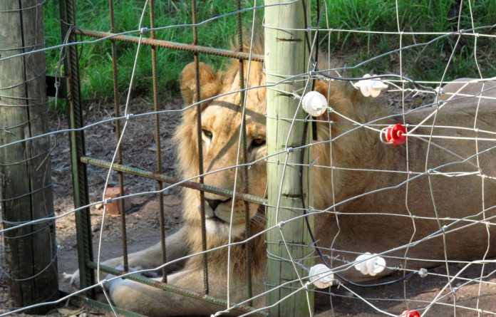 A caged lion.