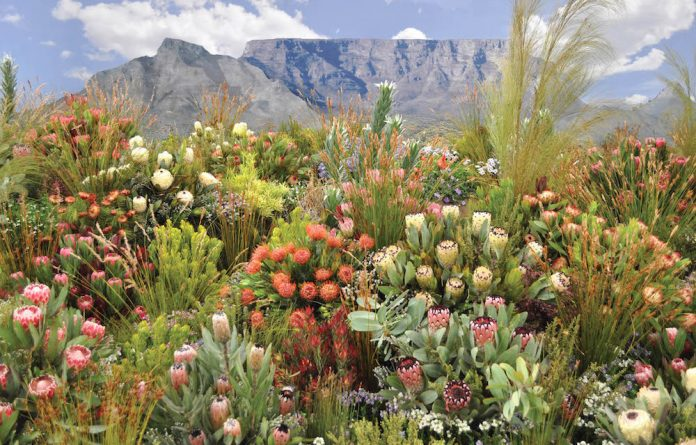 The fynbos side of the Kirstenbosch floral display. Beautiful varieties of proteas are showcased