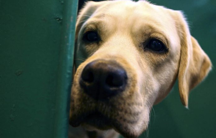 Research has found that when your Labrador or pavement special looks at you with those puppy-dog eyes