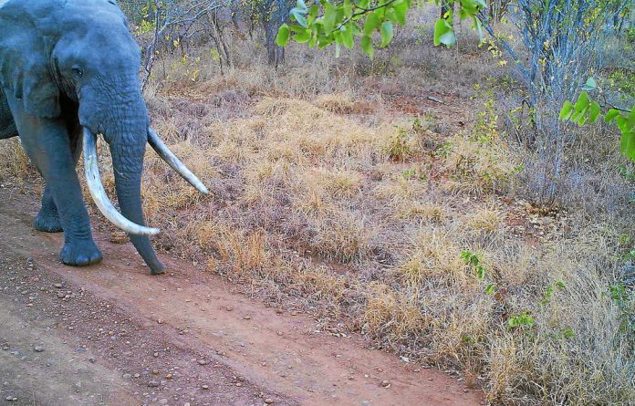 One of the Kruger Park's elephants that had made its way across the border into Mozambique and was killed by suspected poachers.