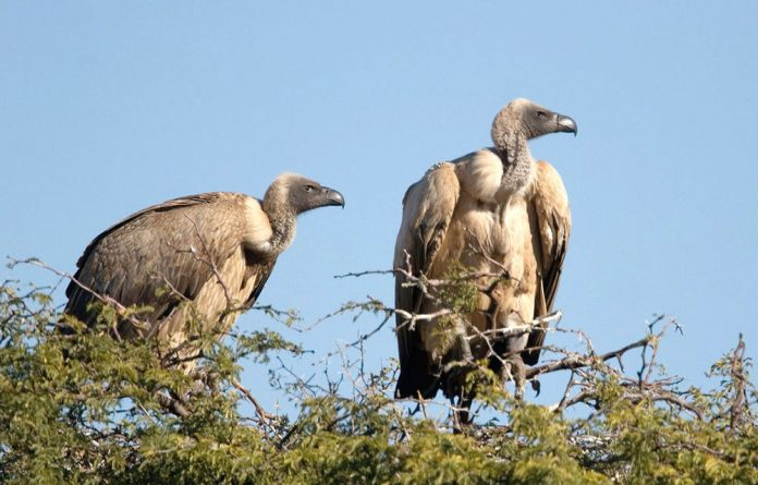 The white-backed vulture