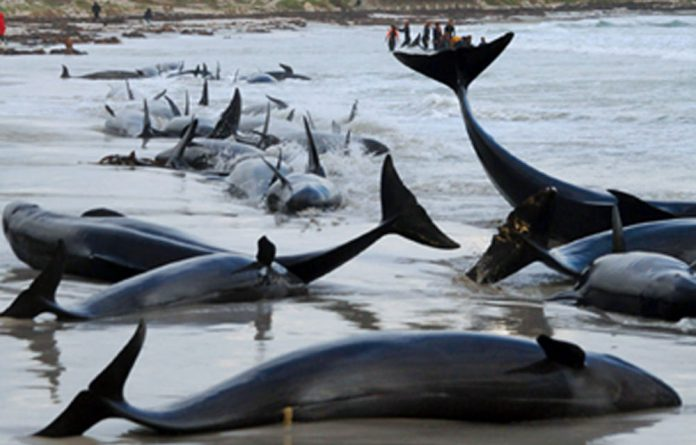 A pod of Humpback whales has been spotted in the Noordhoek area.