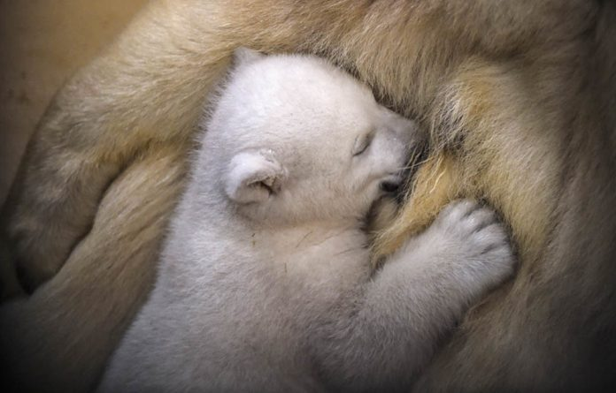 A polar bear cub suckles from her mother in a zoo. Her counterparts in the wild face the threat of extinction.
