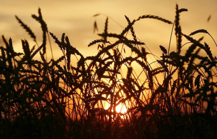 Wheat is one of the nine plant species that account for 66% of crop production worldwide — and