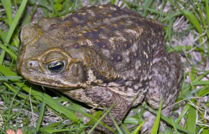 A toad similar to the stowaway.