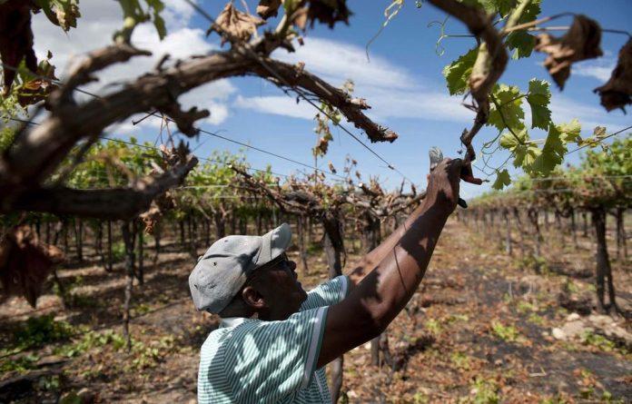 A farm worker prunes back burnt parts of vines near De Doorns in the Hex River Valley.