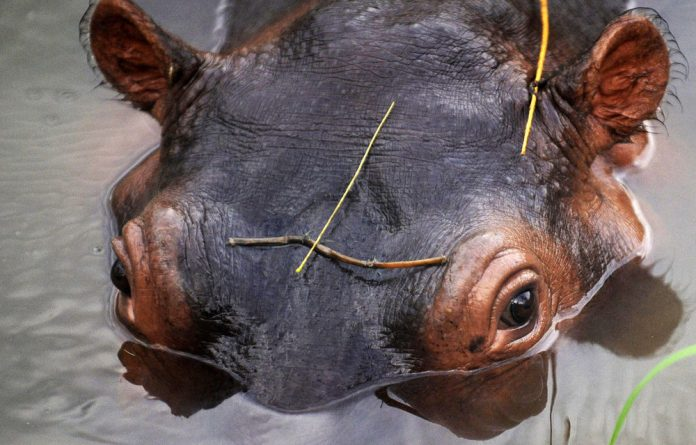 Authorities will try to catch the hippo by luring it into an enclosure with lucerne.