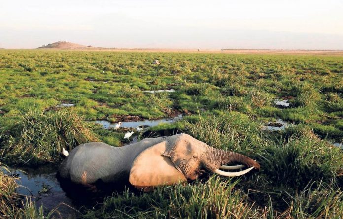 Kill-off: An elephant hard hit by poaching rests in a marsh. The flow of ivory to international black markets is along smuggling routes through Dar es Salaam and other ports.