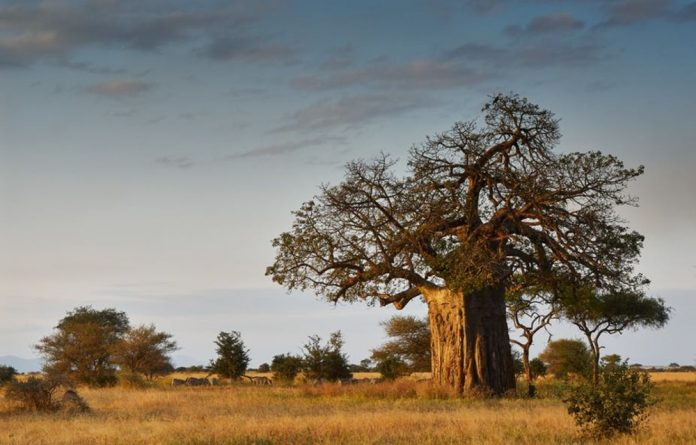 Baobab trees are not only useful to humans