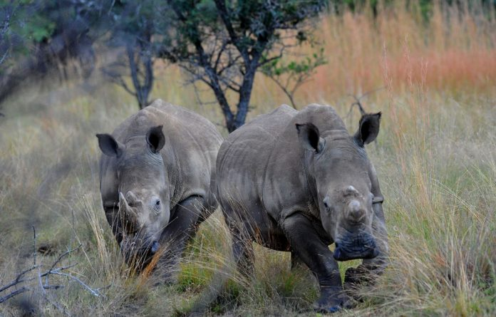 Namibia and South Africa were allowed five black rhino trophy hunts every year until 2011 on condition that it be done on a sustainable basis.
