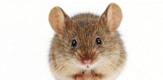 But anyone seeking to extend the life of their own pet mouse by 36%