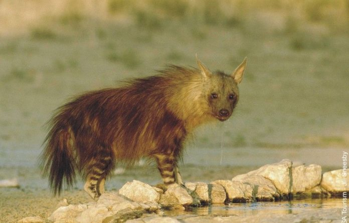 An example of a brown hyena in the wild.