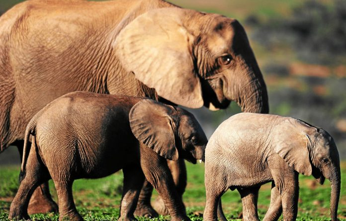 SANParks will put elephants on contraceptives in small reserves