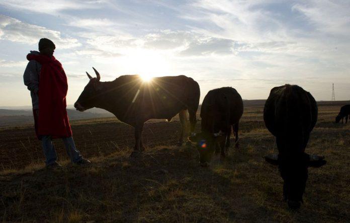 A Basotho headman with his cows in Tsereoane on May 26 2012