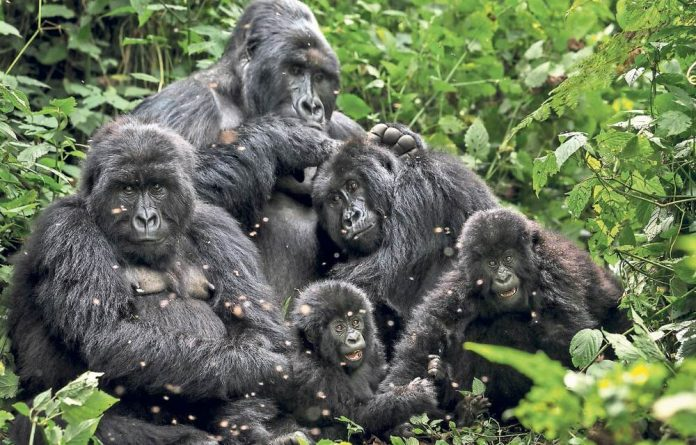 Only 750 gorillas remain in Virunga National Park.