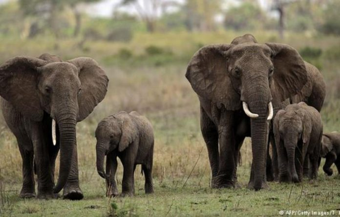 Around 40 000 African elephants are killed every year for their tusks