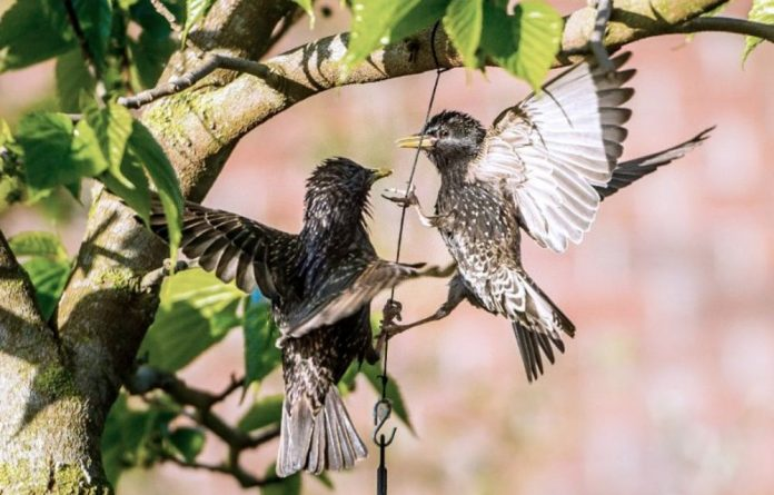 Male starlings sang less and were more aggressive towards females that had been given small doses of the antidepressant Fluoxetine.