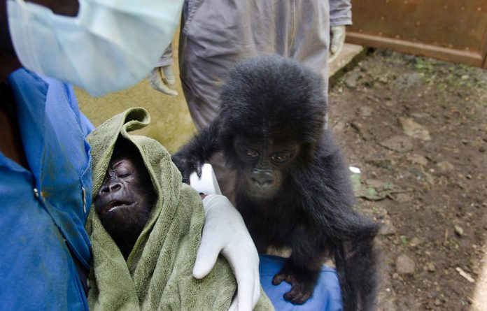 The six- and nine-month-old baby gorillas kidnapped from their families.