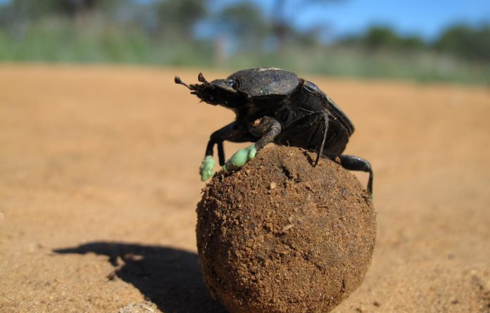 Researchers have found dung beetles use their dung balls to cool off in the heat.