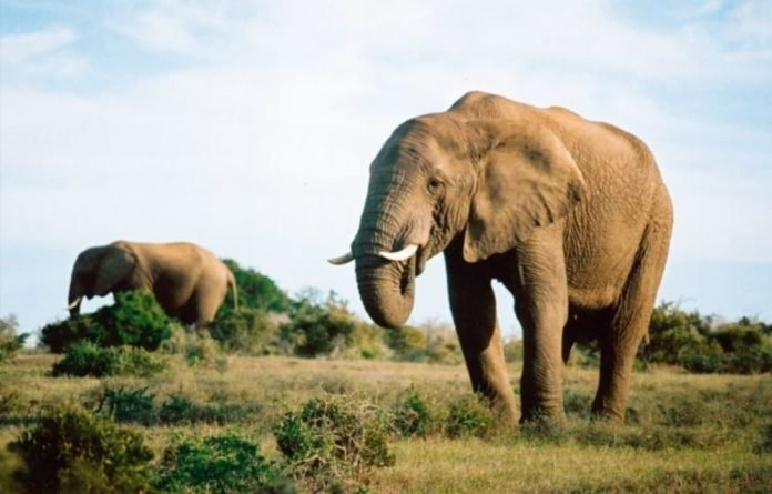 More than 25 000 African elephants were killed in 2012.