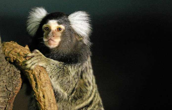 Delicate: Marmosets are popular as pets in Asia.