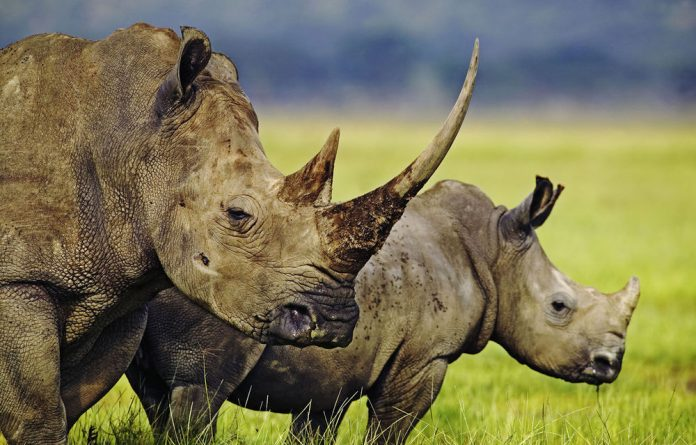 Rhino poaching in South Africa is set to increase by 50% every year.