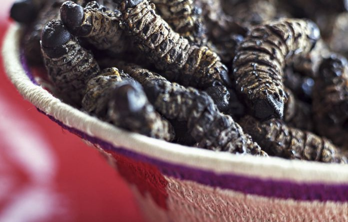 Brooding: The eggs of the emperor moth hatch in summer. After the fourth or fifth moult people collect the caterpillars