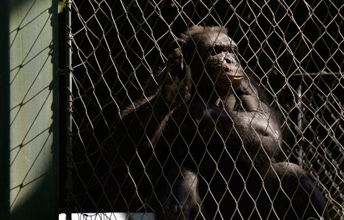 The US anthropology student attacked by the chimpanzees he was studying remains sedated after six hours of surgery.