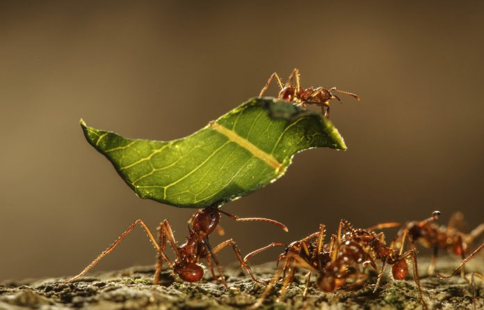 Trails as long 3km are created when leaf-cutter ants native to South and Central America's forests forage for food and building materials.