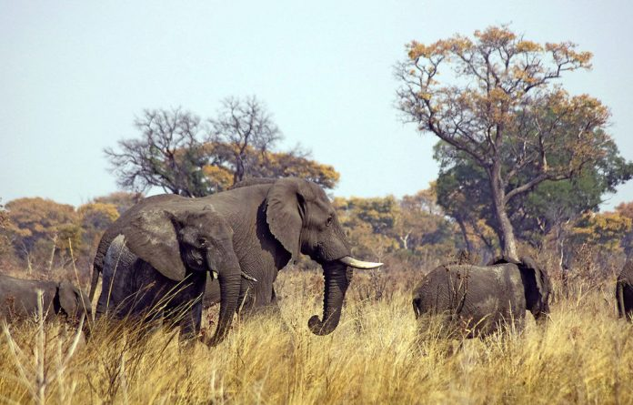 Elephant populations in Central Africa are going into decline