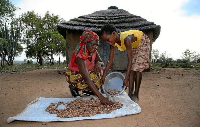 Marula kernels are laid out to dry before they are turned into oil for use in a range of beauty products.