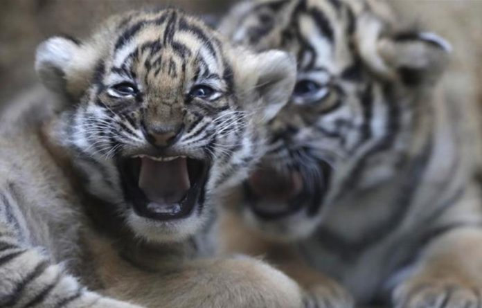 Nepal still has four years to increase its tiger population under the WWF plan