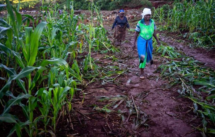 A field of maize devastated by Cyclone Idai