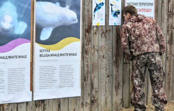 A man looks through a fence around enclosures with nearly 100 whales held captive.
