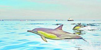 Common dolphins in Algoa Bay.