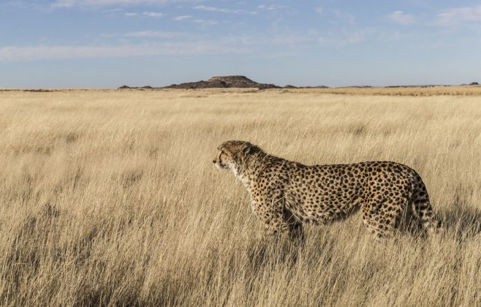 Fragile: About 12% of the 3 000 animals in South Africa that were assessed in the report are at risk of extinction.The cheetah was the second-most threatened carnivore after the African wild dog.